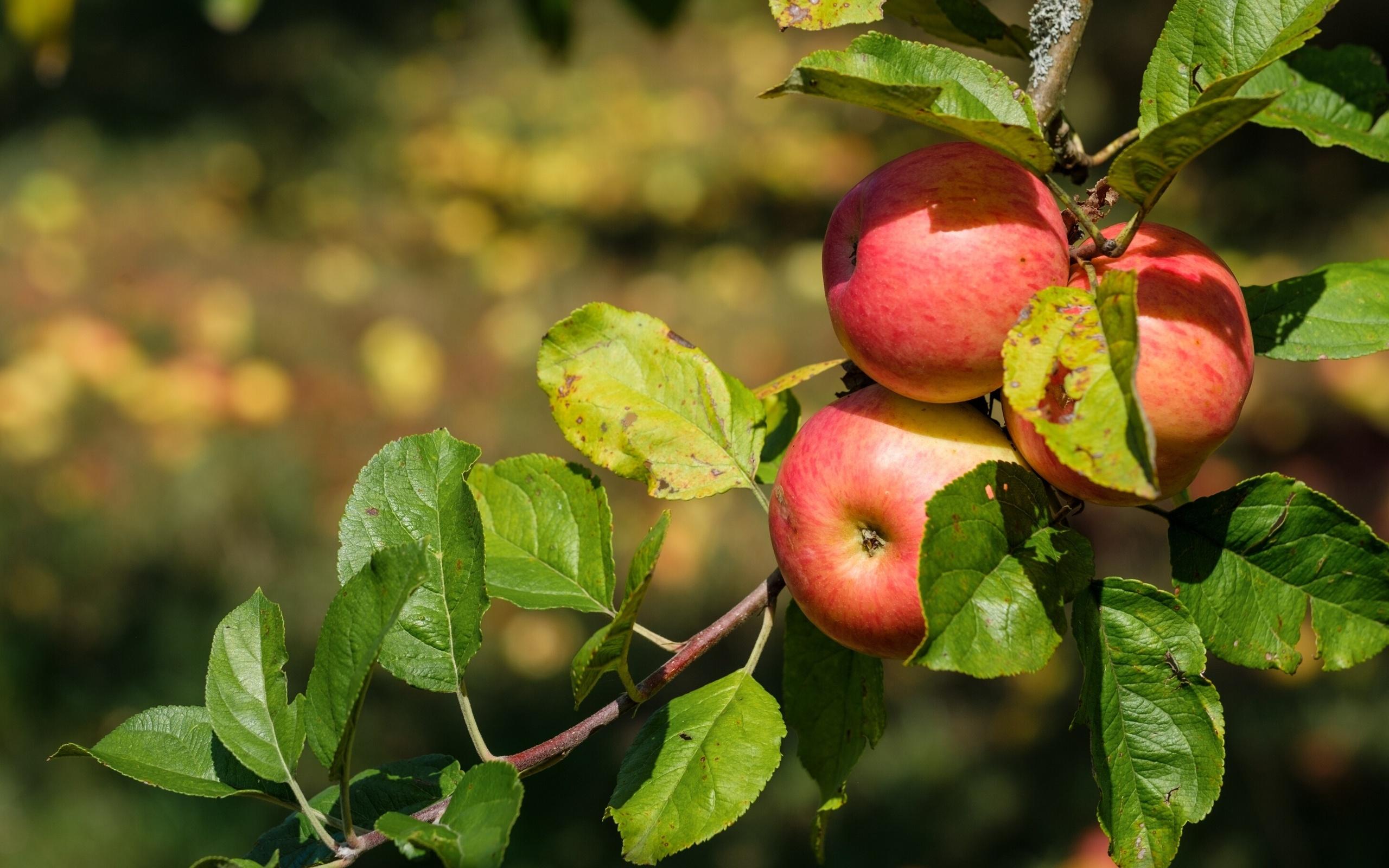 картинки листья яблоками тщательно промойте