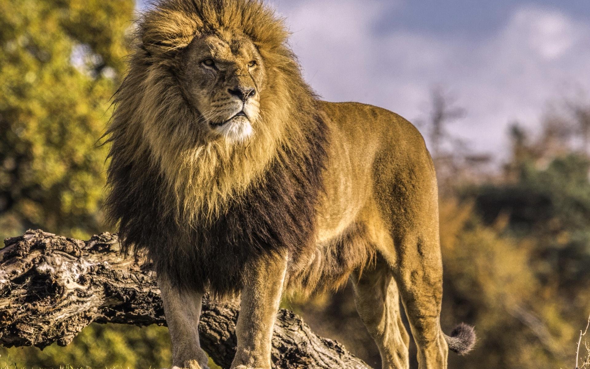 цветные флажки картинки лев хорошего качества любимый, тебя поздравить