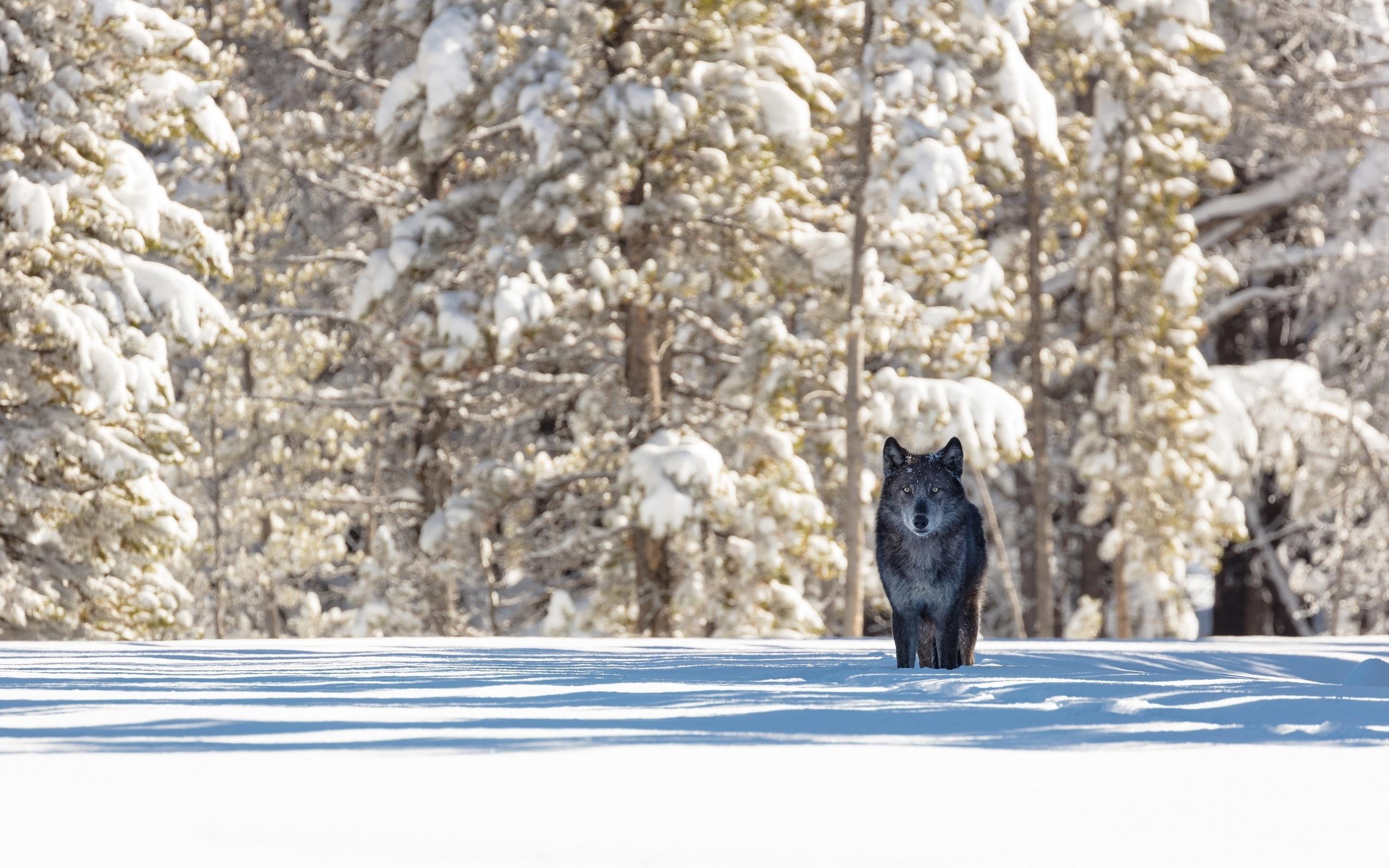состояние, картинка лес волк снег глупая медленная