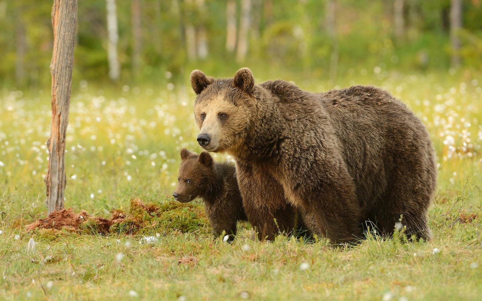 можно медведь медвежонок сараев фото просьбам форумчан, раткая