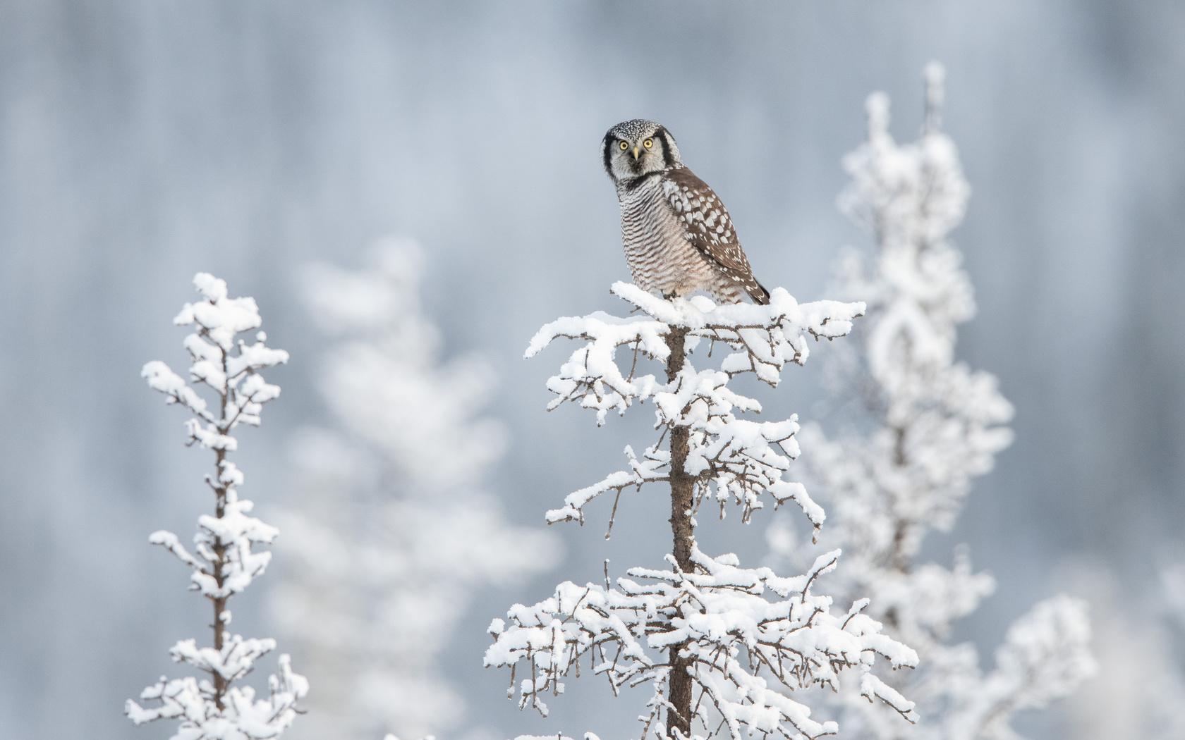 картинки совы зимой в лесу после заливки