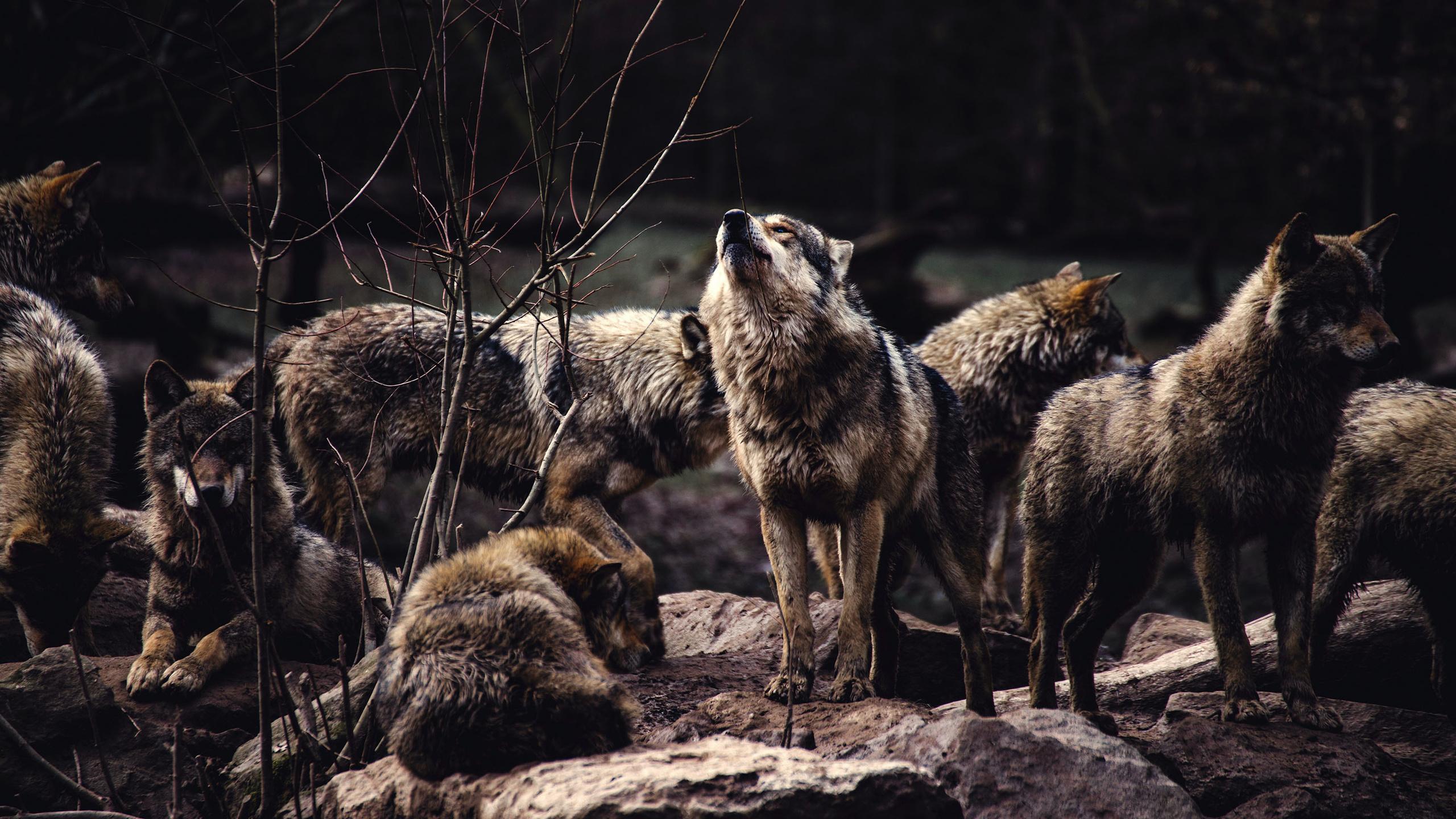 Картинки с четырьмя волками