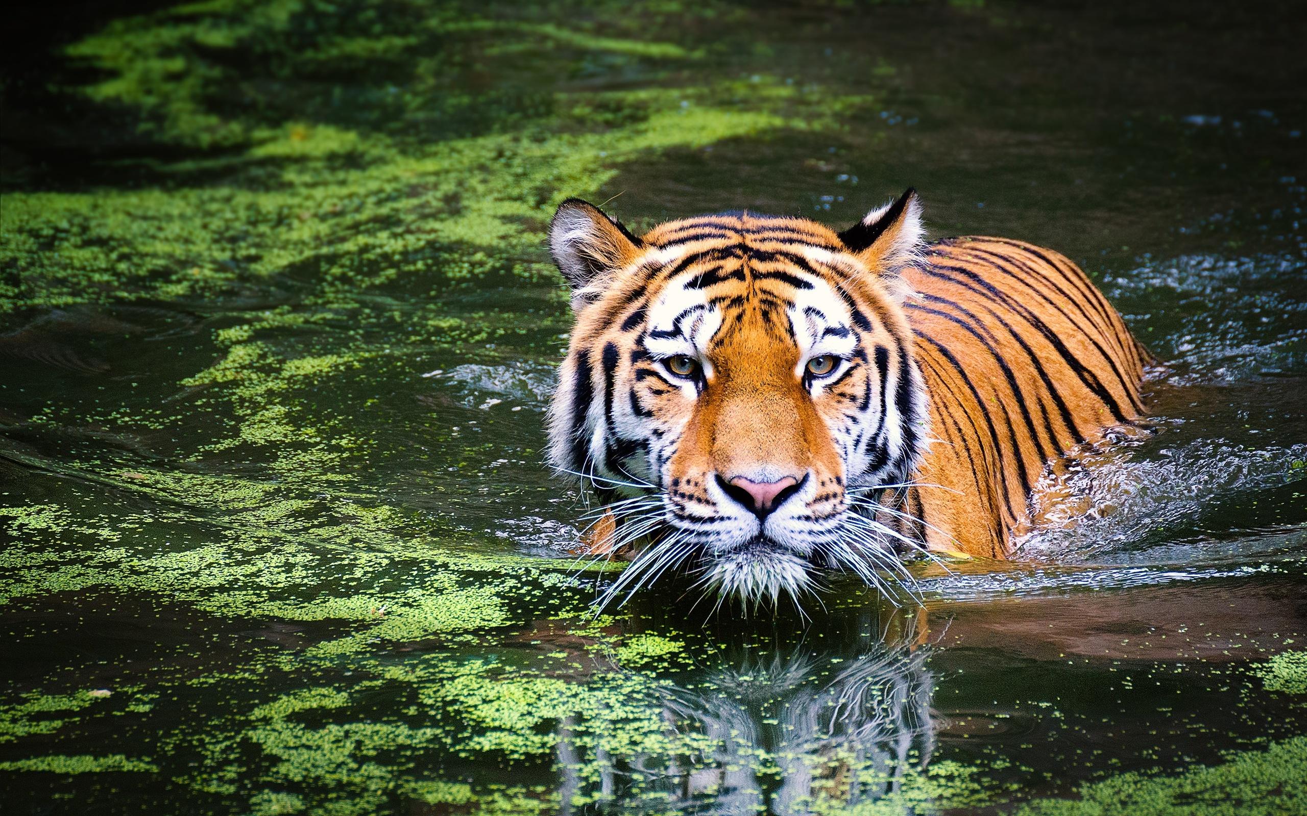 отметить тигр фото и картинки что форма