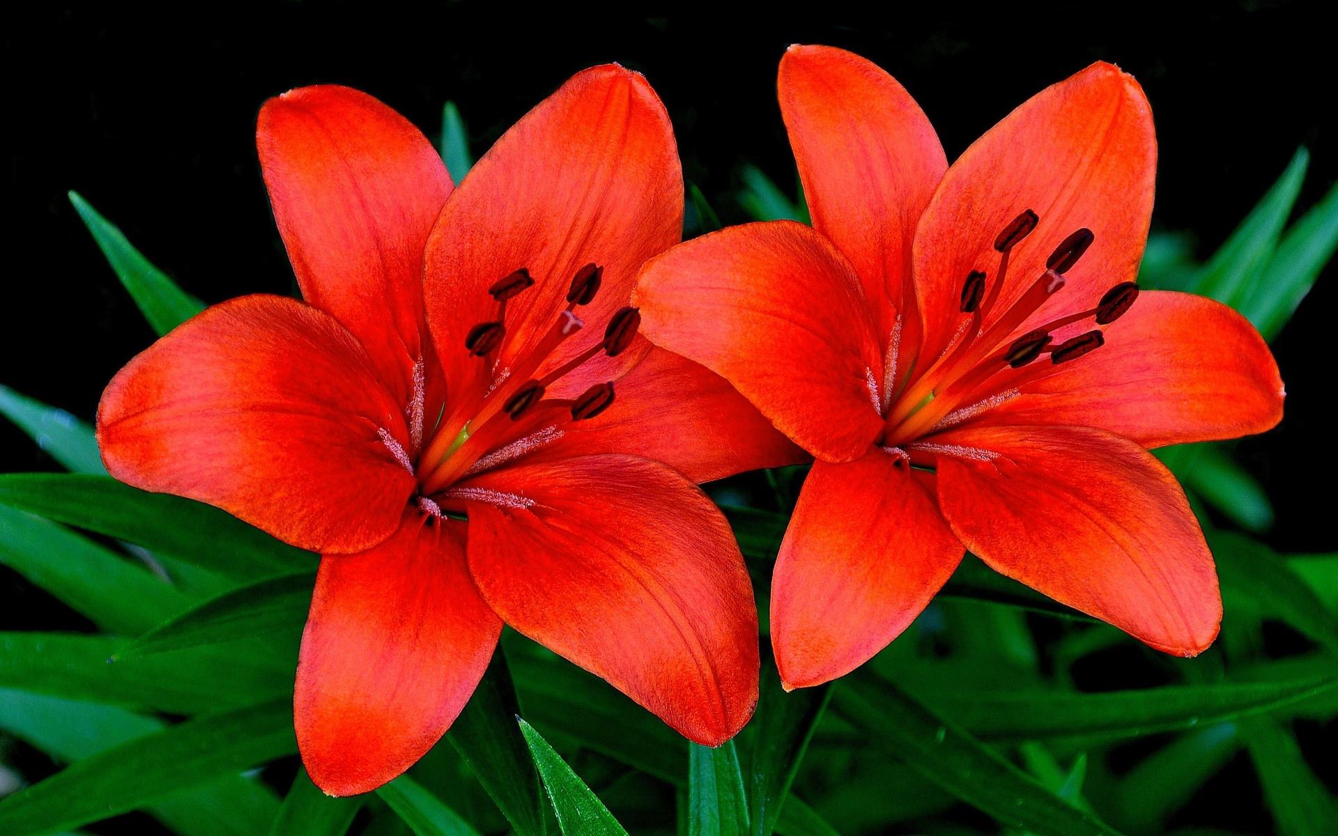 Красивые картинки с цветами лилии, день рождения
