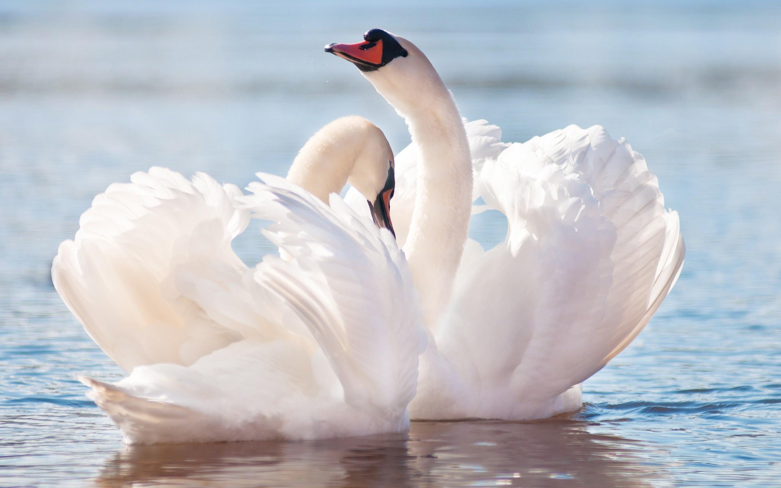 Картинки пары лебедей, открытки для