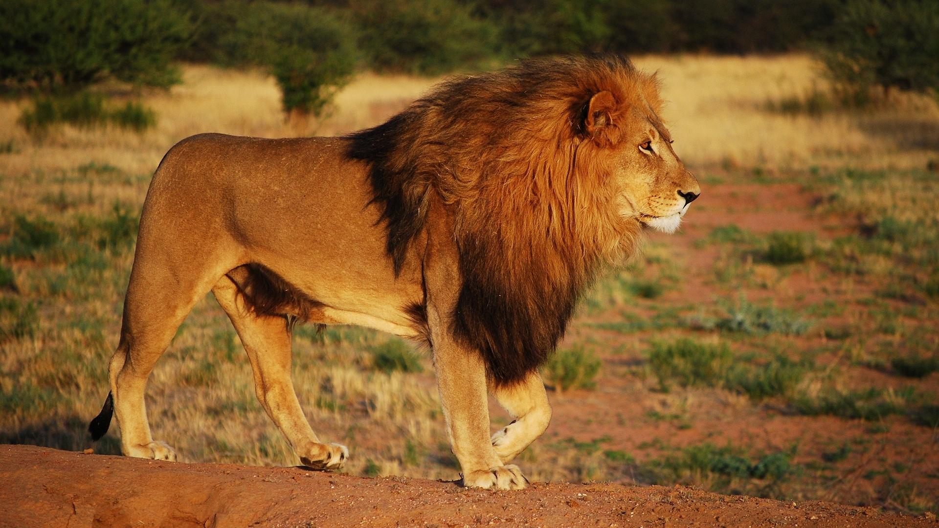 картинки типа льва