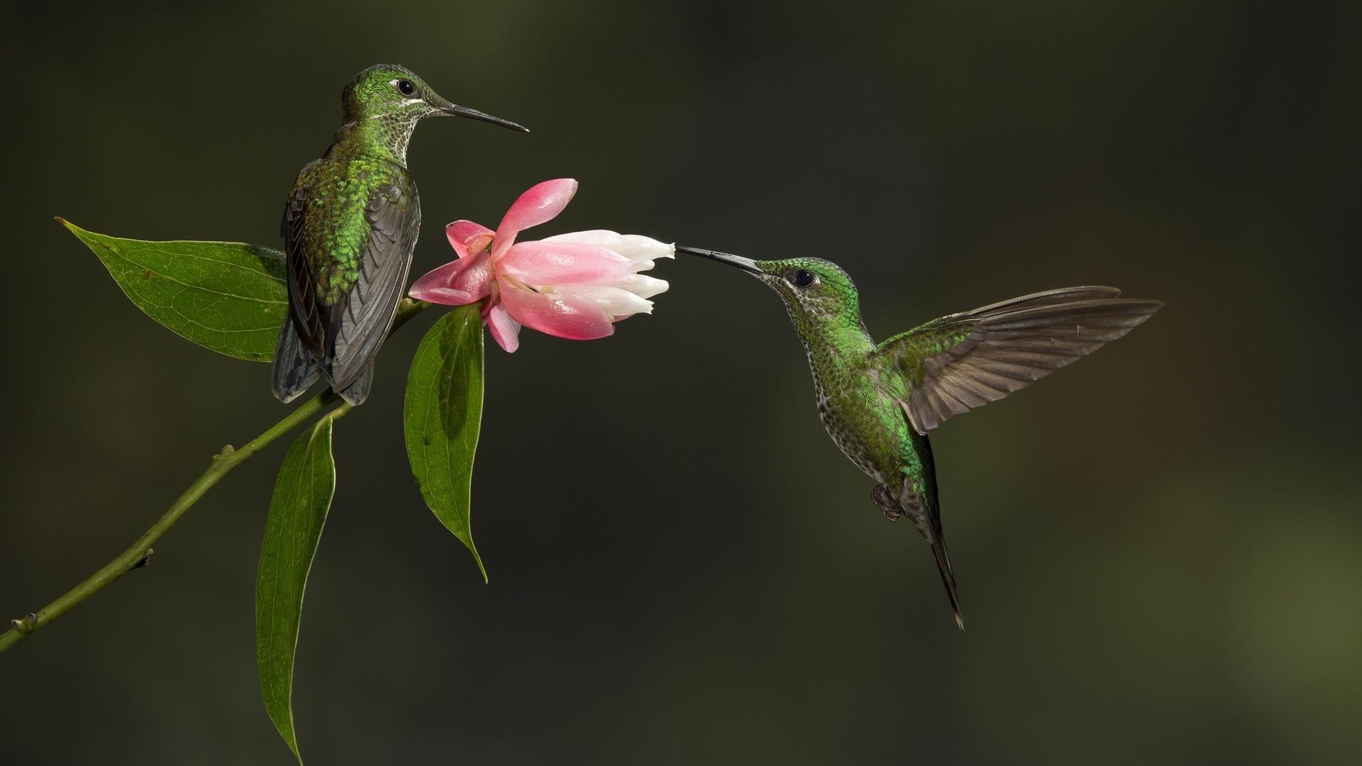 картинки с птичками колибри женаты как