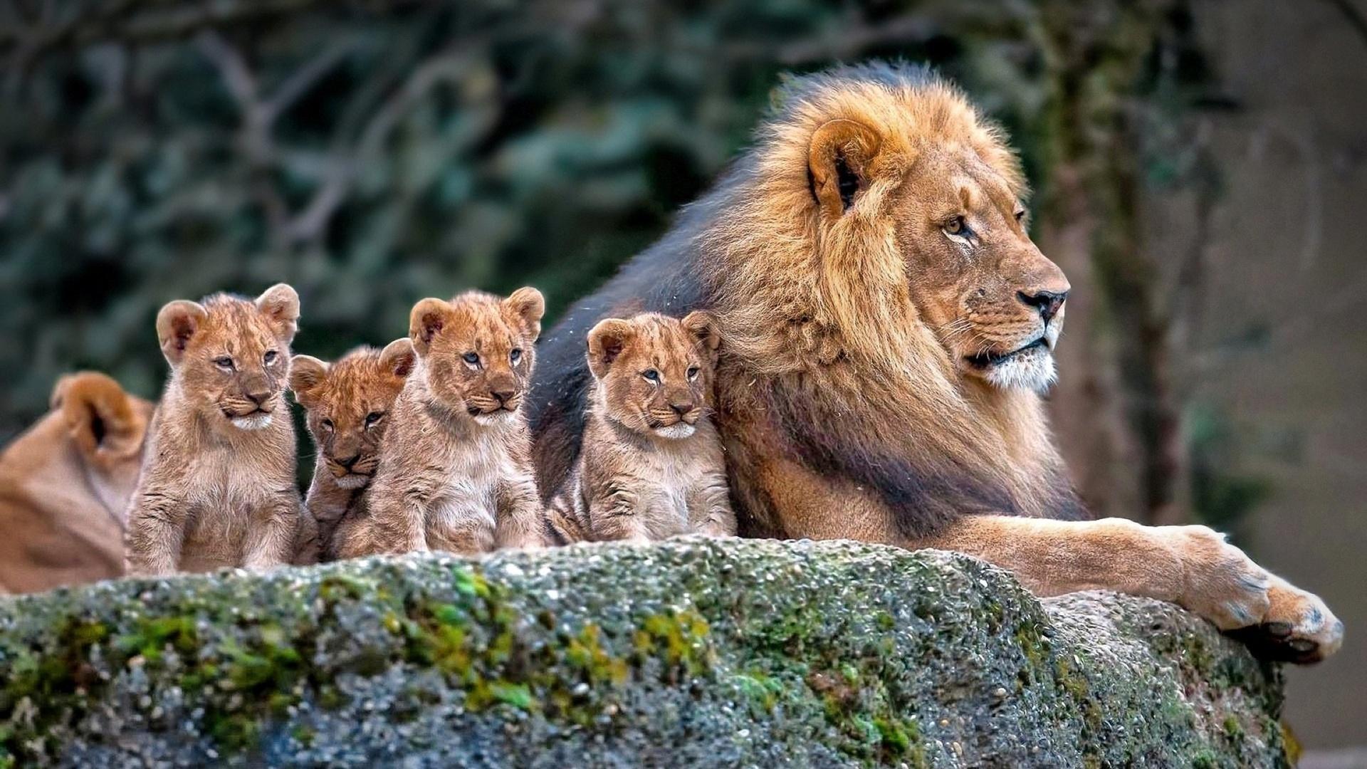 Картинка с львом