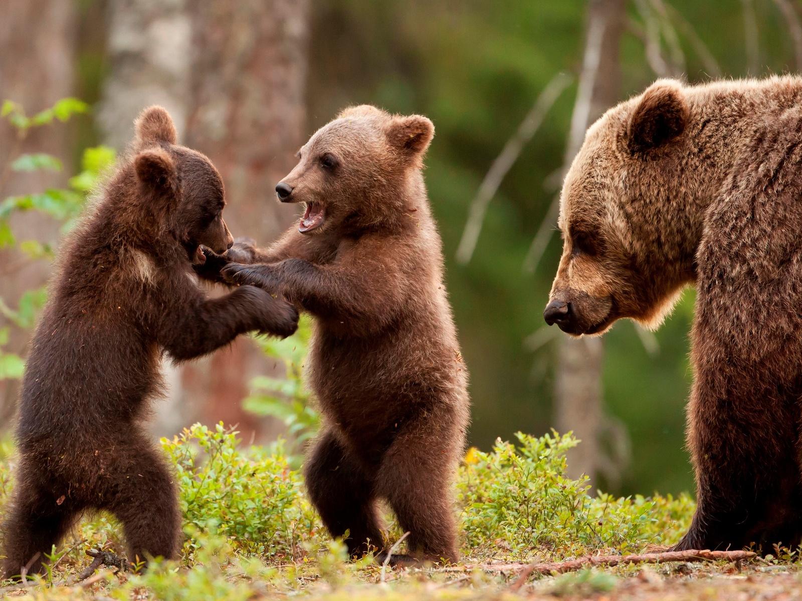 обезумевшие яркие картинки медвежат использовать методы работы
