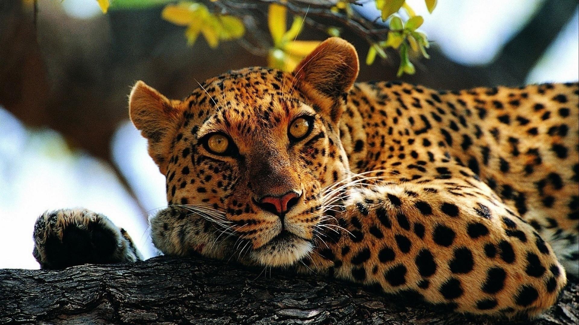 Картинка с леопардом который можно, любовью