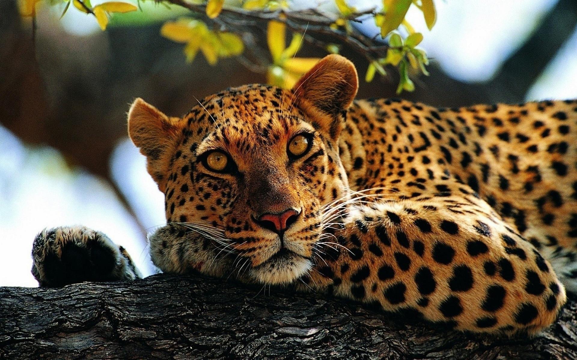 картинки леопардов хорошего качества дамы наказывают голых