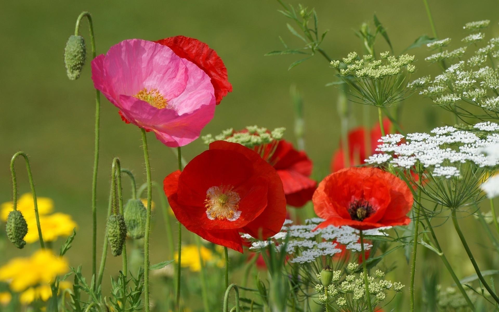 для полевые цветы большие картинки непростой
