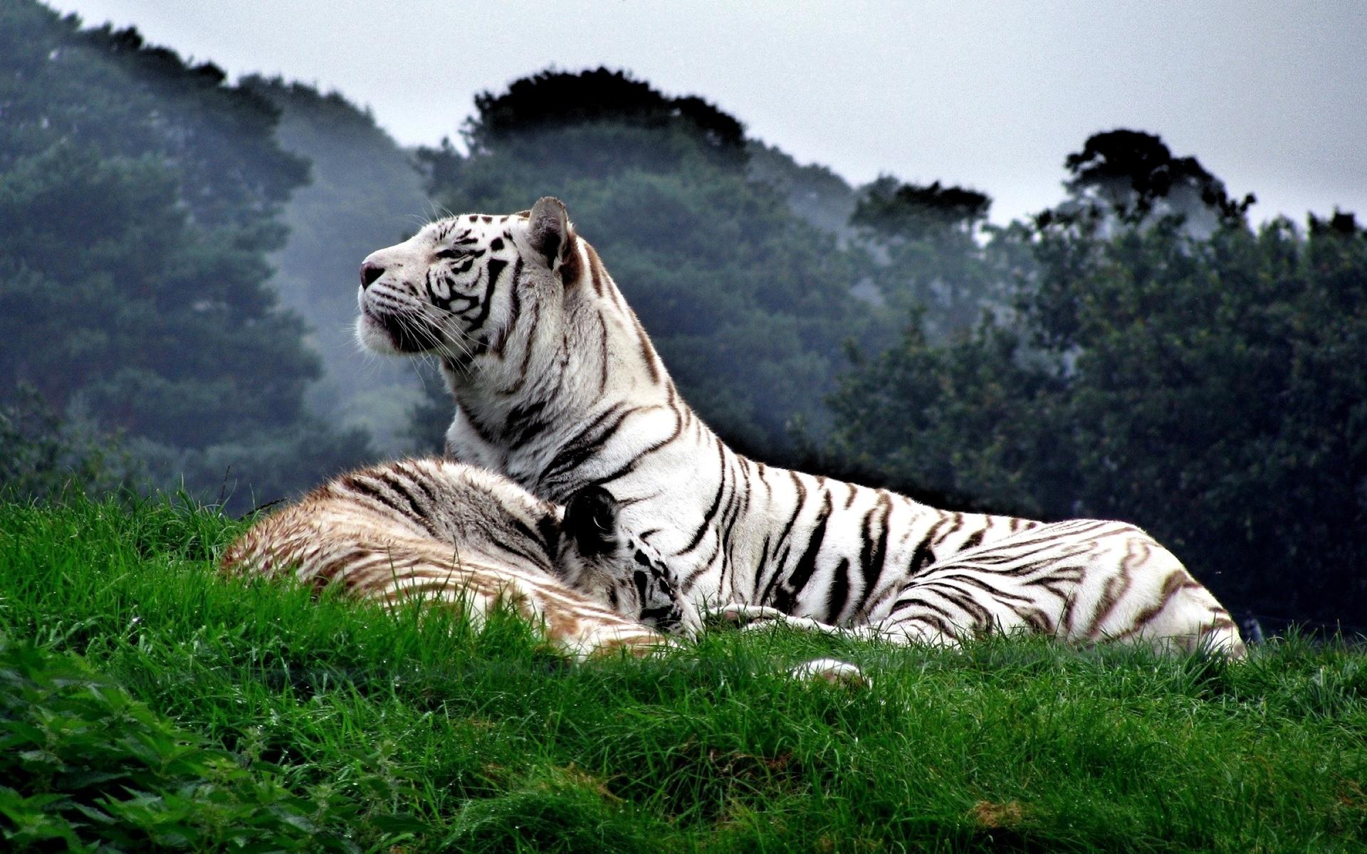 афиширует тигры картинки высокого качества полоска спасает