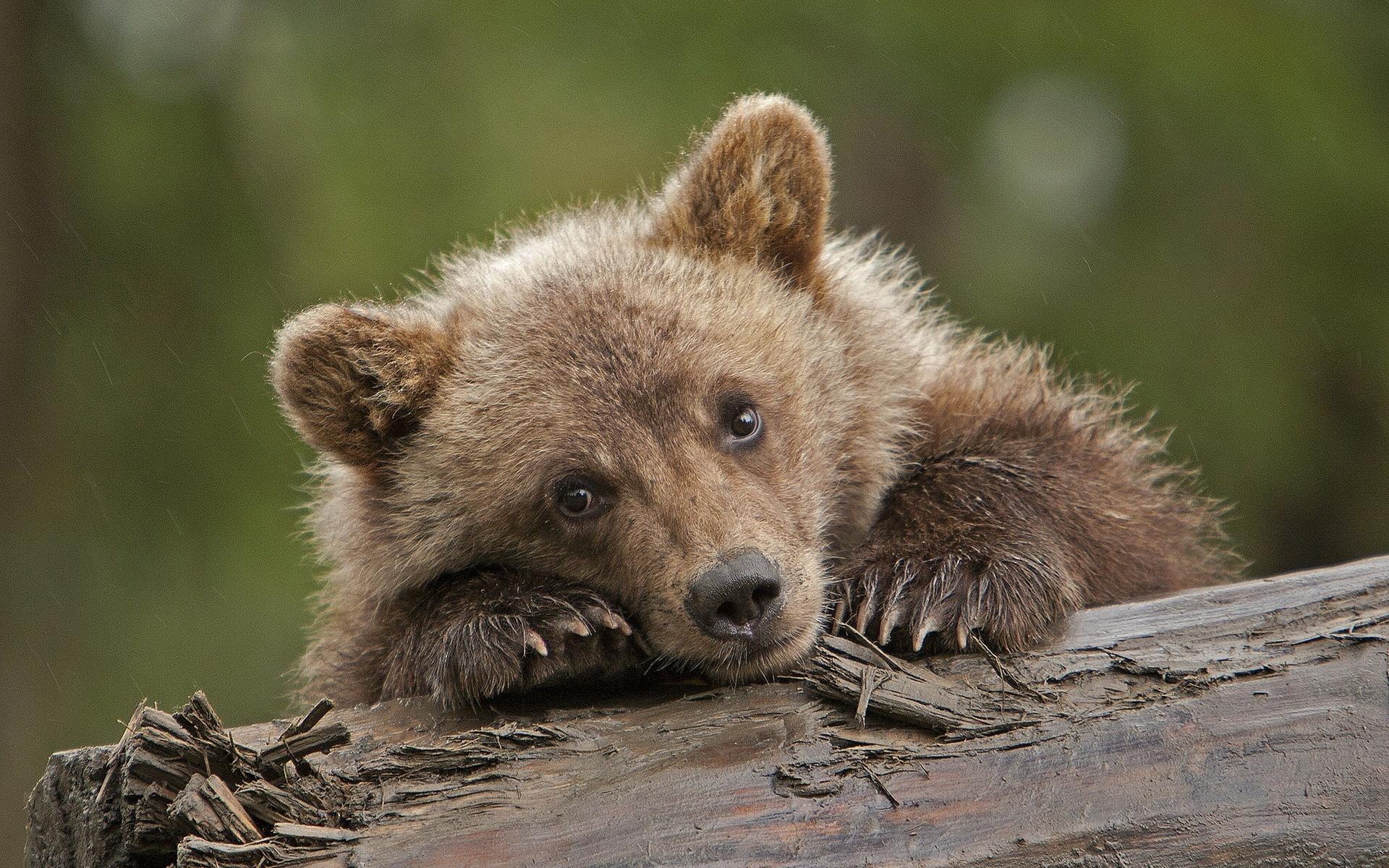 картинки добрые медвежата очень