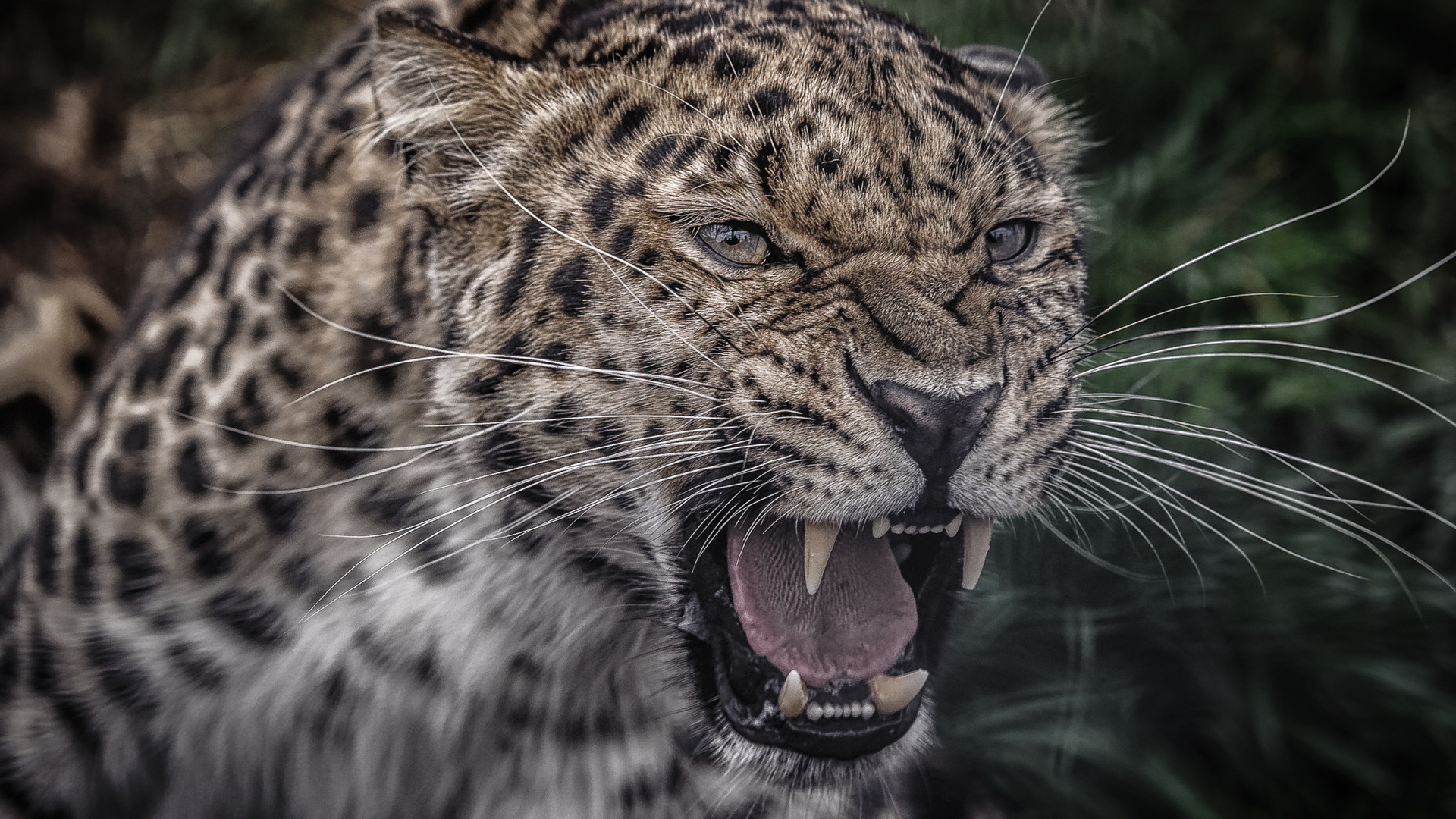 Оскал леопард картинки