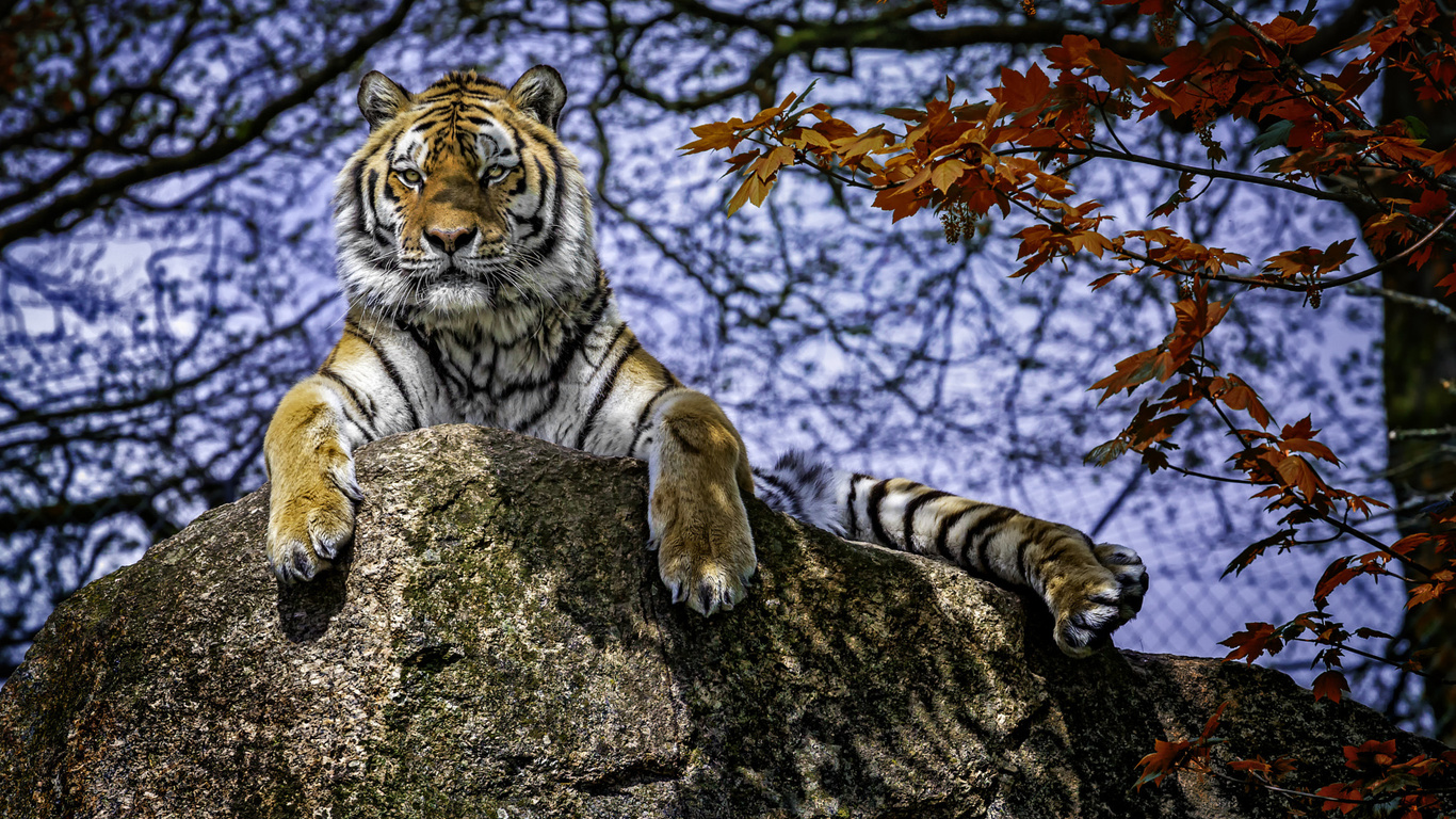 Картинка тигр лежит на камне