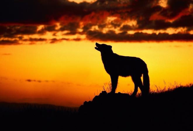 Обои волк, воет на луну, закат на рабочий стол - картинки ...