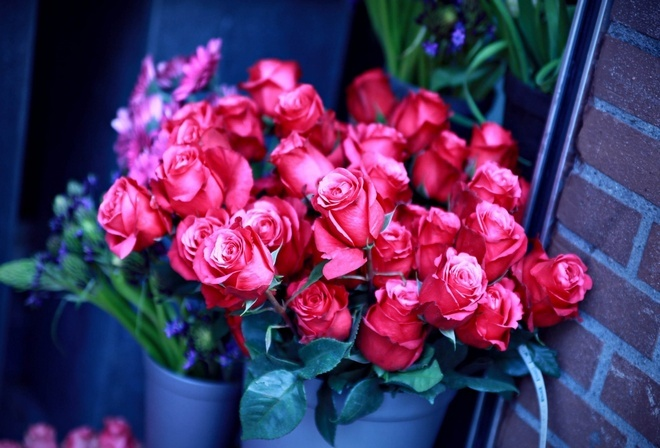 алые бутоны, розы, ведро