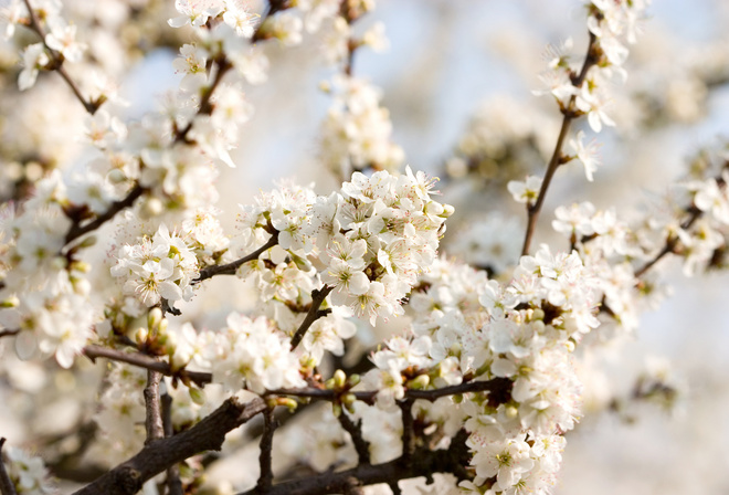 Cherry blossoms, white, цветение, flowers, вишня, beautiful nature wallpapers
