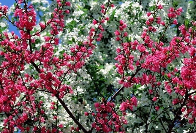 Розовое дерево кустарник