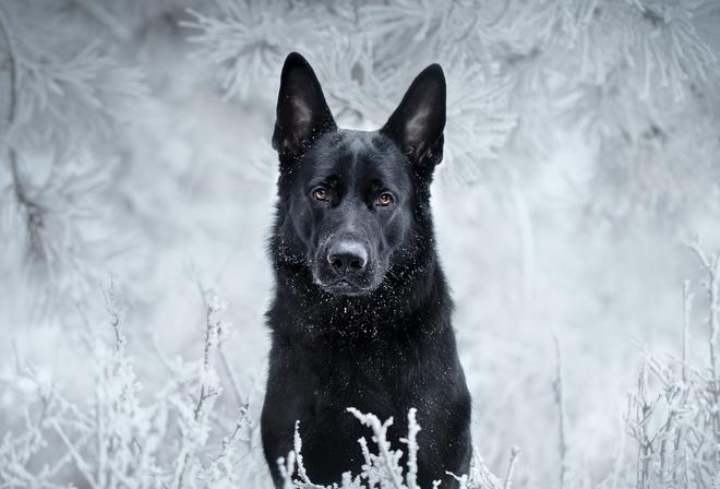 Обои немецкая овчарка, взгляд, друг, собака на рабочий ...