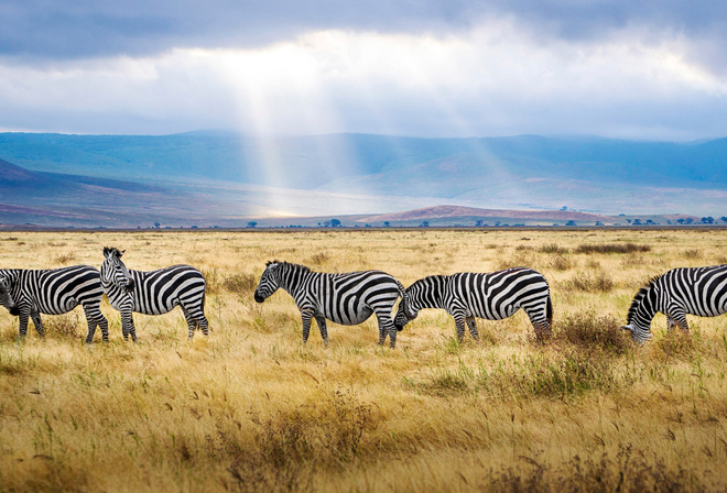 zebra, field, wildlife, sunset, Africa, wild animals