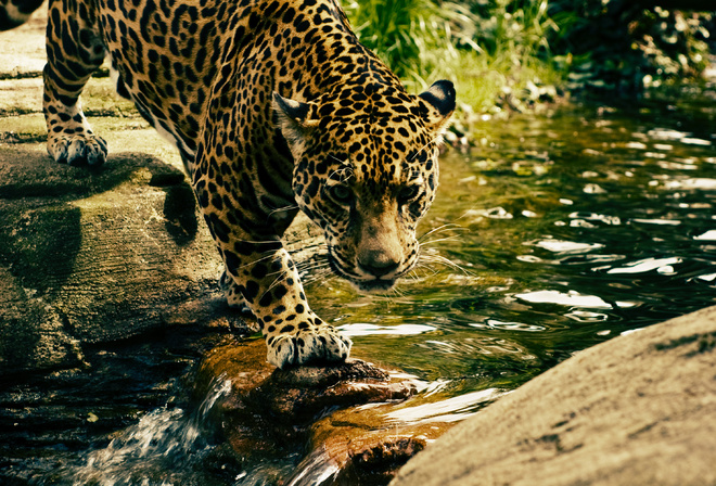 Leopard, Predator, water, Big cat