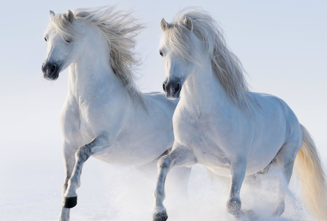 White, Twin, Horse