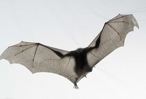 national geographic, летучая мышь, Мышь, tim flach, белый, bat