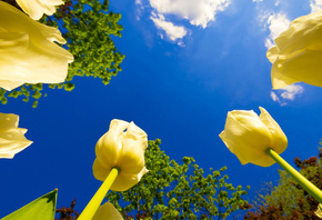 blue sky, yellow, tulips