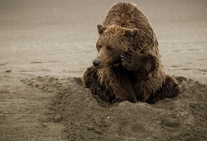 animals, brown bear, sand, noth america