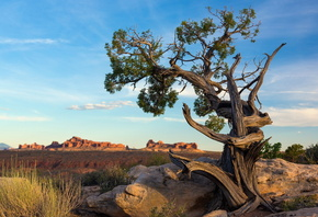 Ancient pine tree, Arches National Park, Utah