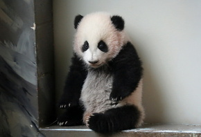 zoo, atlanta, giant panda
