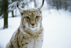 хищник, зима, wood, Рысь, lynx, кошка, winter, cat, predator, лес