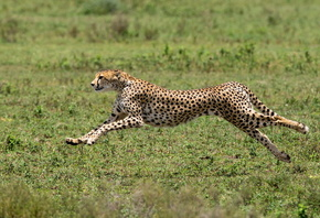 Cheetah, Acinonyx jubatus, predator, big cat, Africa