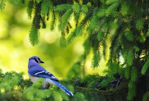american, blue jay, bird, leaves, tree