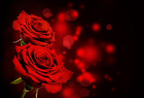 black, red, roses, flowers, розы