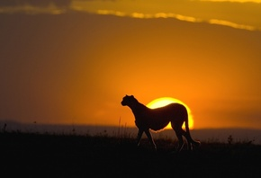 cheettah, sunset, africa, wild