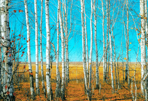 Birch grove, grass field, beautiful nature, landscape