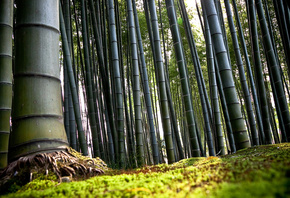 bambu, forest, tree, green