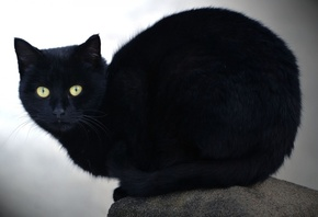 cat, kitty, black, feline
