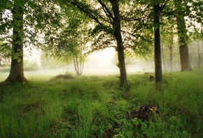 forest, mist, morning, tree