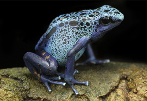 Blue Poison Arrow Frog, frog, blue poison dart frogs