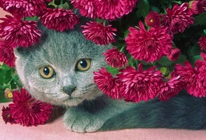 cat, gray, Flowers, serenevye, a fat cat, beautiful