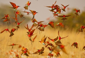 Carmine Bee-eater, bee-eater, birds, lot, pack