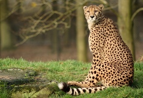 cheetah, forest, wild, bigcat