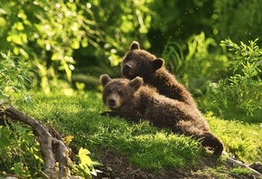 bear, cubs, green, grass