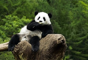 panda, tree, branch, bear