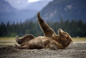 bear, rest, wild, forest