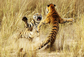 fight, tigers, wild, grass